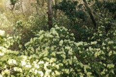 ヒカゲツツジ:常緑の低木で山地の崖や岩上に生育。花期:4~5月頃