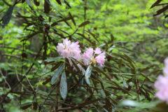 ホンシャクナゲ:高地の湿気の多い急斜面の木の下などで生育。花期:5~6月