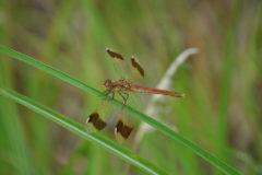 ミヤマアカネ:茶色の帯と縁紋が特徴、7~11月に川や用水路などで見られる。