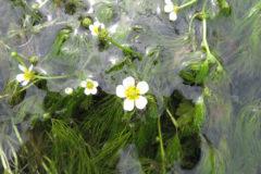 バイカモ(梅花藻):多年草で、水温15度前後の湧き水などを好んで群生する。