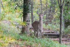 シカ:身近な動物。草食性で草類や木の葉、木の実、果実などを採食する。