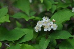 カマツカ:日本全土に分布する落葉低木。花期:4~5月頃