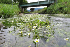 バイカモ(梅花藻):「梅」に似た白い花を咲かせる。