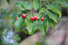 ソヨゴ:秋頃に果実をつけ、橙色から赤色に熟す。直径8mmほどの大きさ。