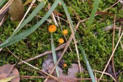 ミズゴケノハナ:夏から秋にかけて、草地や水苔などの蘚類上に発生する。