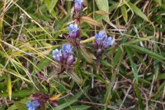 リンドウ:秋の山野草。人気があり薬草としても知られる。花期:9~11月