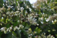 クサギ:葉を揉むと独特な臭いがするが、綺麗な花を咲かす。花期:8~10月