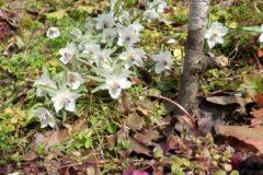 セツブンソウ:高さ10cm程の小さな多年生草本。花期:2~3月
