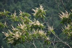 リョウブ:初夏に花を咲かせる。花には蜜が多く昆虫がよく訪れる。花期:7~9月