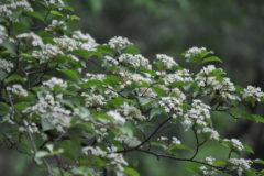 カマツカ:本州・四国・九州に分布。白くて丸い花を咲かせる。花期:4~5月