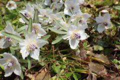 セツブンソウ:早春に咲く花で、開花時期が早いのが特徴である。