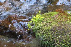 マンネングサ(万年草):渓流の岩場で黄色の花が咲いていました